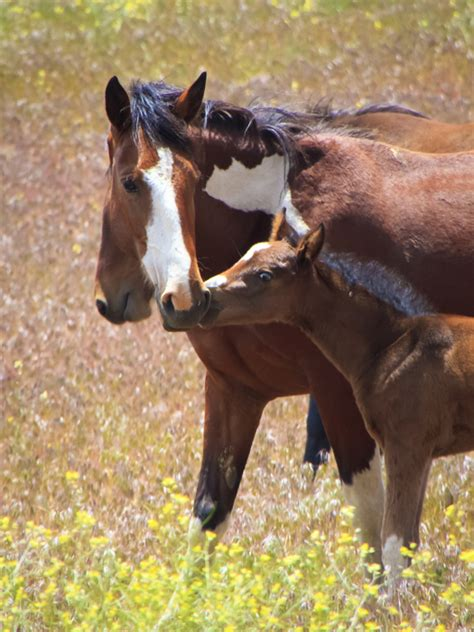 wild mustang foal  images  baby mustang horses