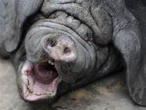 Meishon pig from China ugly animals   Ugly animals ...