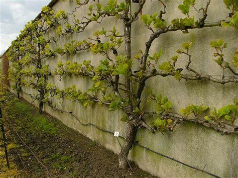 planter des framboisiers en pot klasikiniai sodai kiemeliai puslapis 23 flora forumas
