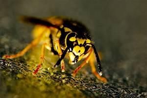 Wespenfalle Selber Bauen : 8 manieren om wespen op een natuurlijke manier te weren hetkanwel ~ Markanthonyermac.com Haus und Dekorationen
