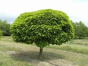 Kugel Trompetenbaum Schneiden : b ume g nstig online kaufen bei lorberg online shop f r ~ Lizthompson.info Haus und Dekorationen