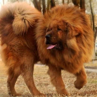 Dog Expensive Breeds Mastiff Tibetan Worlds