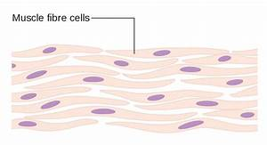 File Diagram Of Muscle Cells Cruk 035 Svg