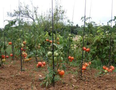 agripreneur veut devenir roi de la tomate jangolo
