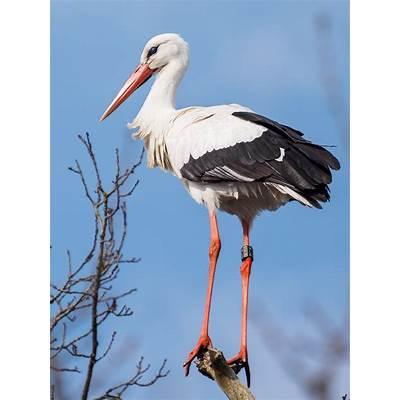 White stork - Wikipedia