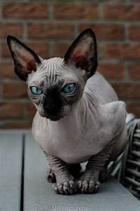 sphynx cats and their fascinating intriguing