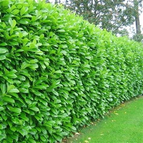 Cherry Laurel Hedging Plants 20 40cm Prunus Rotundifolia
