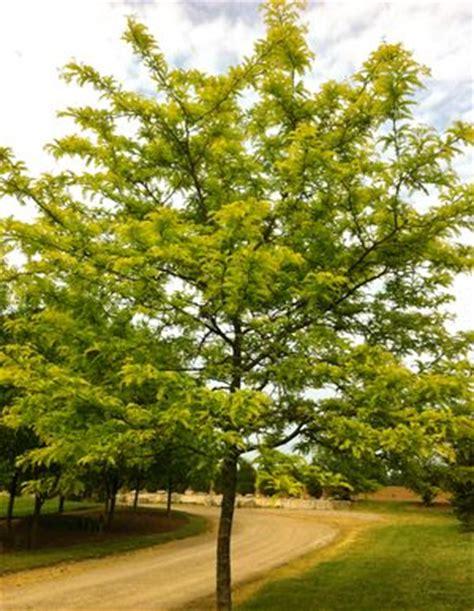 Gleditsia triacanthos var. inermis Sunburst® ('Suncole ...
