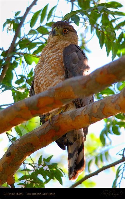 red tailed hawks coopers hawks ferruginous hawks