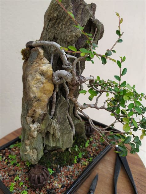 ulmus parvifolia chinese elm root  rock bonsai