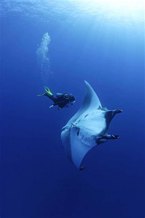manta ray swimming  divers  pics izismilecom