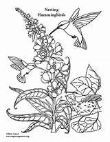Coloring Hummingbirds Feeding Nesting Hummingbird Pdf Exploringnature Sheets Printable Ospreys Printing Animals sketch template