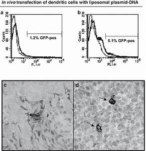 Efficiency Of In Vivo Transfection Of Dendritic Cells