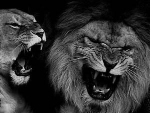angry lions   Tumblr