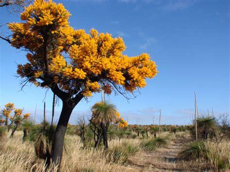 west australian bush christmas tree tistmas pinterest