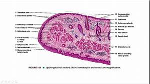 Lip Histology  An Easy Way To Remember In 5 Minutes