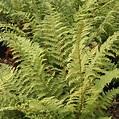 Buy soft shield fern Polystichum setiferum: £14.99 ...