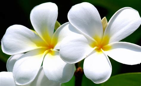 Obat Penggugur Cytotec Cytotec Kumpulan Gambar Bunga Kamboja Blog Bunga
