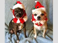 Virtual Chihuahua Advent Calendar – Dec 19 Montreal Dog Blog