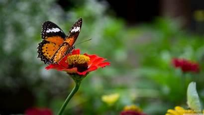 Butterfly 4k Wallpapers Flower Desktop Uhd Background