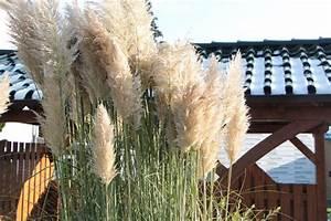Pampasgras Wann Schneiden : pampasgras schneiden worauf beim r ckschnitt zu achten ist ~ Lizthompson.info Haus und Dekorationen