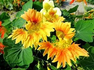 Getrocknete Blüten Kaufen : gefranste kapuzinerkresse mit exotischen bl ten 10 samen kaufen ~ Orissabook.com Haus und Dekorationen