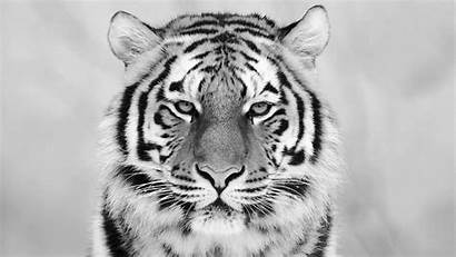 Tiger Phone Wallpapertag