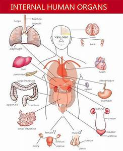 There Are 23 Internal Organs In Human Body  Following Is