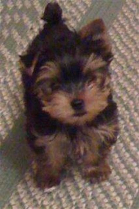 Non Shedding Dogs For Adoption by Non Shedding Healthy Yorkie Puppies For Adoption For Sale