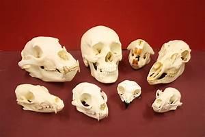 Comparative Skulls