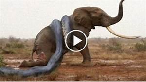 Snake Eating Lion