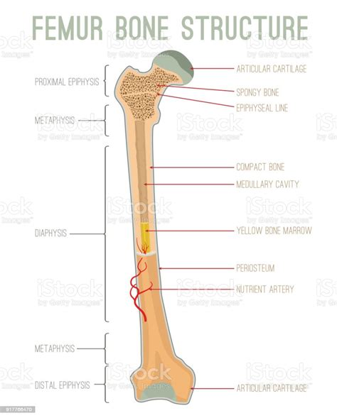 It has a prismatic shape, and lies the tibia is the second longest bone in the human body. Femur Bone Structure Stock Illustration - Download Image Now - iStock