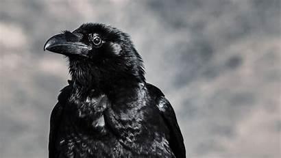 Raven Birds Wallpapers Desktop Wallpapermaiden