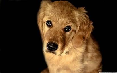Dog Retriever Golden Wallpapers Background Desktop 4k