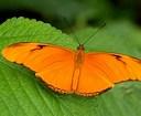 Resultado de imgenes de mariposa naranja