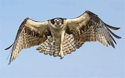 Hawk Bird Hawks Birds Prey Animals Angry
