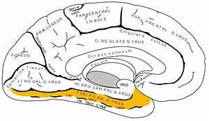 Fusiform Gyrus