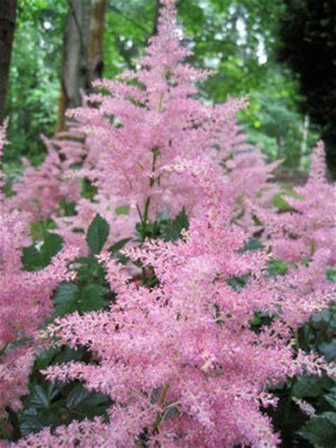 shade plants zone 5 astilbe a shade loving plant perfect for zone 5 planting landscaping pinterest back