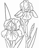 Coloring Orchid Flower Iris Drawing Cattleya Hibiscus Peony Spring Flowers Drawings Kleurplaten Printable Orchids Colorluna Colouring Adult Templates Line Plant sketch template