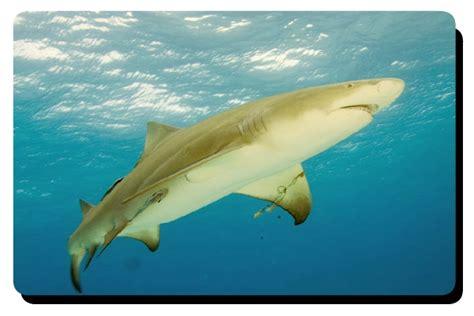 lemon syari lemon shark facts that you should all five oceans