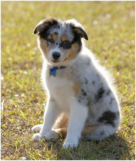 australian shepherd shedding australian shepherd puppies breeders price facts