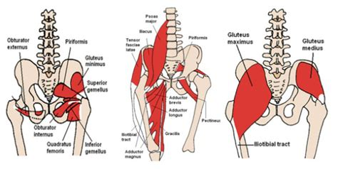 psoas muscle back pain : Biological Science Picture
