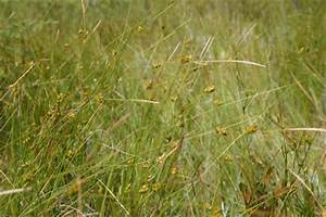 Carex oligosperma - Michigan Flora