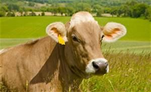 Cattle Gestation Chart Brown Swiss Association Gt Breed Gt Brown Swiss Breed