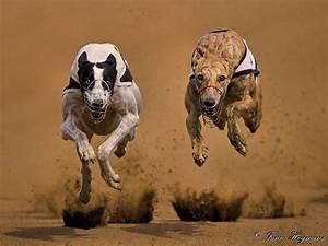 Greyhound Dog Racing by Fanie Heymans