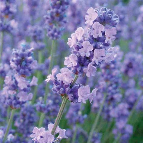 lavender plant height buy lavender lavandula angustifolia melissa lilac dow4 pbr