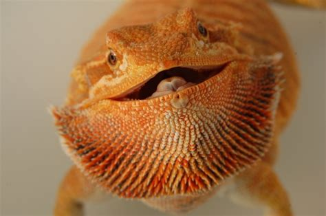 orange leatherback bearded dragon