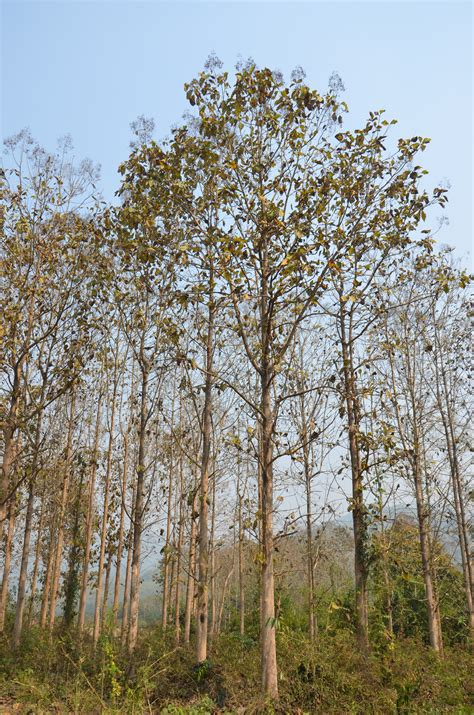 of tree money can grow on trees teak assets in northern laos recoftc s blog for people and forests