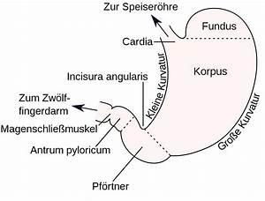 Pylorus  U2013 Wikipedia