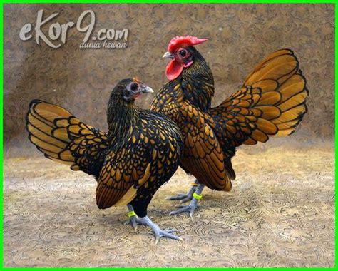 ayam kate terbagus paling unik di dunia dan gambar dan